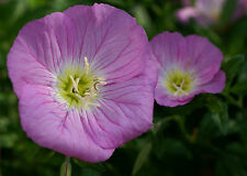 primrose, evening showy, PINK, 2750 SEEDS! GroCo*