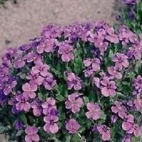 Aubrietia - Royal Violet - 250 Seeds