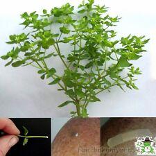 Cancer Weed Radium Weed Euphorbia Peplus Petty Spurge BULK 250+Seeds! Cheapest!