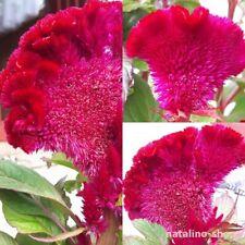 30x CELOSIA argentea var cristata YELLOW semi arbusto casetta da giardino id24