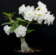 1 Pcs White Desert Rose Seeds Bonsai Plant Tree House Herb Garden Flower Decor