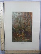 Rare Antique Orig VTG Woodcock In Forest Birds Color Selmar Hess Litho Art Print
