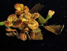 Millinery Flower Velvet Pansies Brown Shades for Hat Wedding + Hair Y239