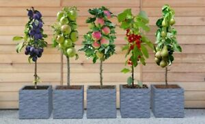 5 x Dwarf Mini Patio Fruit Trees Collection Apples, Pear, Cherry & Plum Garden