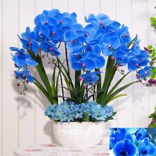 50pc Blue Phalaenopsis Moth Orchid Seeds Home Garden Bonsai Flowers Plants