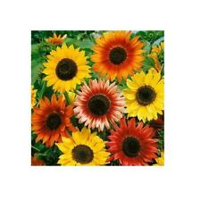 Autumn Beauty Sunflower seeds 100 seed. HEIRLOOM. ***SAME DAY SHIPPING***