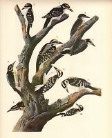 "JAMES AUDUBON 1937 Book Print ""TWO WOODPECKER'S"" Birds of America Painting"