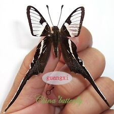 20 unmounted butterfly papilionidae Lamproptera curia GUANGXI A1 A1-