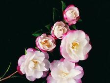 Camellia sasanqua Paradise Blush 9cm pot winter flowering camellia