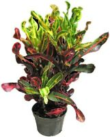 """Croton Mamey Live Plant Indoor 3"""" Pot Colorful Houseplant Easy to Grow"""