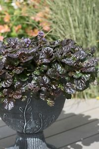 Ajuga reptans Black Scallop -  9cm Organic Pot