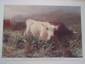 HIGHLAND CATTLE old vintage print 1920's COWS BULLS