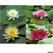 nenuphar   lot de 4  plante bassin nymphea pond