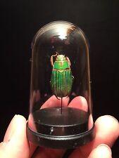 "Cabinet de curiosités""My little globe"" insecte Chrysina plusiotis adelaida!"