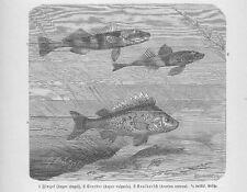 Zingel (Zingel zingel) Kaulbarsch (Gymnocephalus cernua) Holzstich von 1892