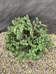 "Euphorbia enopla cv.""Coral Cristata "" 22 X 16 X 12cm. PLEASE READ DESCRIPTION!"