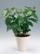 Organic Flower seeds Decorative Arabian coffee tree seeds(Coffea arabica) indoor