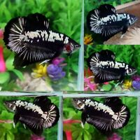 Black Samurai Halfmoon Plakat Male - IMPORT LIVE BETTA FISH FROM THAILAND