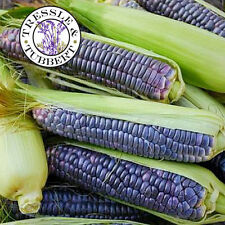 Rare Blue Sapphire Corn Sweetcorn - 5 seeds - UK SELLER
