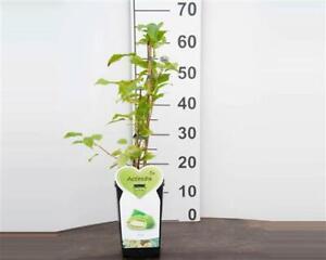 Kiwi 3 Stück Issai Actinida arguta selbstfruchtend Kletterpflanze Beerenobst