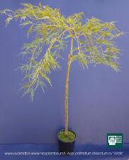 "ACER PALMATUM cv ""DISSECTUM  VIRIDIS'' v18 pianta acero giapponese innesto alto"