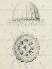 NATURE MEDUSAE HAECKEL SCIENCE DRAWING 12 X 16 INCH ART PRINT POSTER HP2241