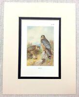 1929 Antico Uccello Stampa Merlin Hawk Wild Di Preda Vintage Fauna Selvatica Art