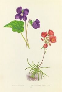 Botanical American Violet Viola by Wooster 1872 Original Woodblock print colour