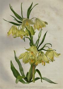 H.G. Moon's Antique Floral - FRITILLARIA ASKABADENSIS - Chromolithograph - 1903