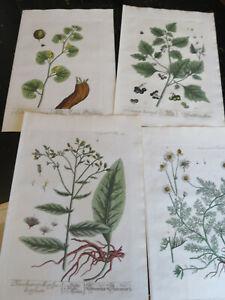 Botanicals - Elizabeth Blackwell, published Nuremburg Germany ca:1757, 4 plates