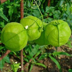 Balloon Vine Love in a Puff Seeds (Cardiospermum Halicacabum) 10+Seeds