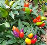 Thai Multi Colour Chilli - A Medium Hot, Beautiful Colored Compact Chilli Pepper