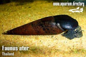 Black Devil Snail (Faunus ater)