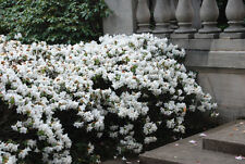 Rhododendron Snow Lady - #3 Container Plant  - Hardy to -10 F - White Blooms