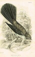 """Jardine's Ornathology - """"WHITE SHAFTED FAN TAIL"""" - Hand Colored Engraving - 1833"""
