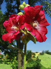 25 DARK RED HOLLYHOCK Alcea Rosea Flower Seeds Perennial *Comb S/H + Free Gift