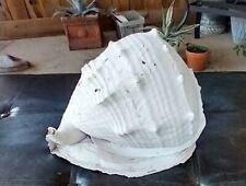 Huge Queen Helmet Conch - Antique