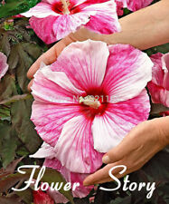 Free Shipping 100 Seeds Giant Hibiscus Flower Seeds Mixed semenatsvety perennial
