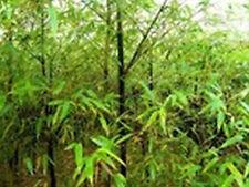Black Bamboo/Bambus -Phyllostachys nigra- Winterharter Bambus -20 Samen- Selten
