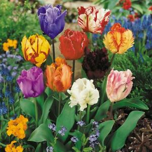 Parrot Mixed Tulips Bulbs Size 11/12 tulipa Spring Flower Free P & P