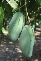 Khiew Sawoey Grafted Mango Tree - Thai Favorite Green Mango