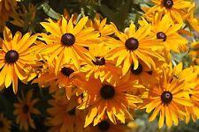 Rudbeckia Blackeyed Susan Excellent Cut Flower Long Bloom Period Perennial 150