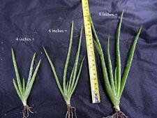 Three Sizes of Aloe Vera Barbadensis 4+6+8 inches each plus roots-a Nice buy!!!