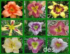 10 Beautiful MIXED Hybrid  DAYLILY  Plants ~  Single Fans ~ Perennials Daylilies