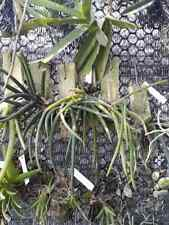 Oberonia myosurus matthew orchid plant Bloom Size Thailand
