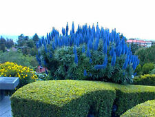 200 seeds of Echium Fastuosum Pride Of Madeira Plant flowers blue evergreen