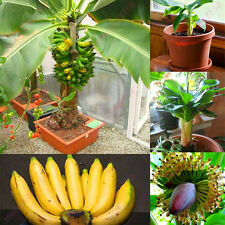 100 Pcs Dwarf Mini Banana Tree Seeds Chic Exotic Bonsai Home Garden Plants Seed