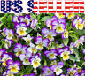 100+ Viola Johnny Jump-Up Flower Seeds Perennial Purple Blooms Heavily Pink USA