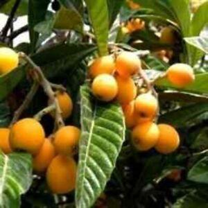 Loquat Eriobotrya Japonica Japanese Plum Edible Evergreen Fruit Tree