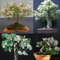 100Pcs Lilac Flower Seeds Rare Bonsai 4 Kind Fragrant And Handsome Home Garden